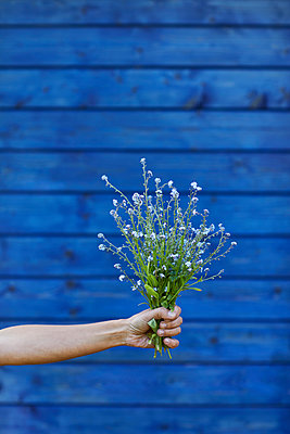 Close-up of hand holding bunch of forget-me-t - p300m2198590 by Maya Claussen