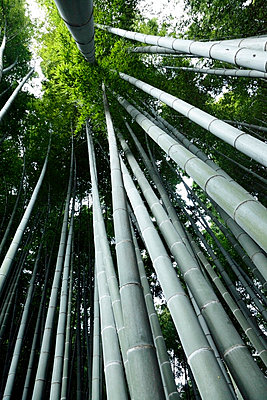 Looking up to the canopy of a bamboo forest - p2651396 by Oote Boe