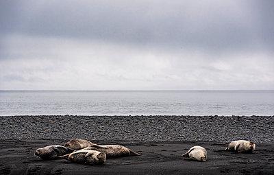 Grey seals (halichoerus grypus) lying on black sand beach,  Jokulsa loni, Iceland - p429m2145635 by Henn Photography