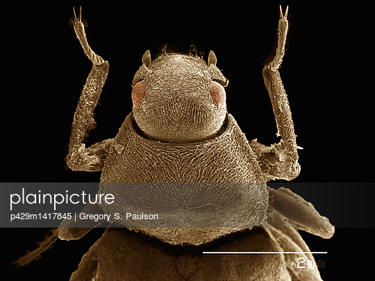 Frontal view of a water beetle imaged in a scanning electron microscope - p429m1417845 by Gregory S. Paulson