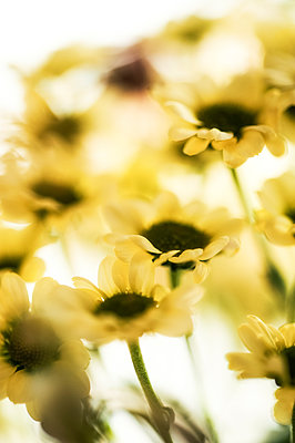 Close-up of a yellow argyranthemum - p1047m1480729 by Sally Mundy