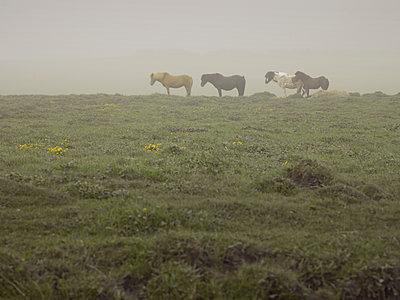 Islandpferde in Vulkanaschesturm, Wind von rechts - p1314m1189950 von Dominik Reipka