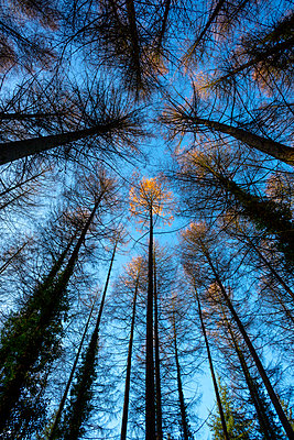 Fir trees - p1057m2044764 by Stephen Shepherd