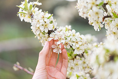 Hand touching white blossoms of fruit tree, close-up - p300m1581648 by VITTA GALLERY