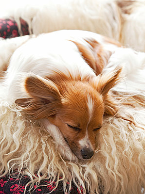 Sleeping Chihuahua - p382m1475235 by Anna Matzen