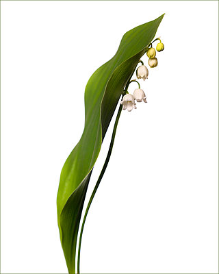 Flowering Lilly of the Valley, Convallaria majalis, against White Background - p694m2068330 by Lori Adams