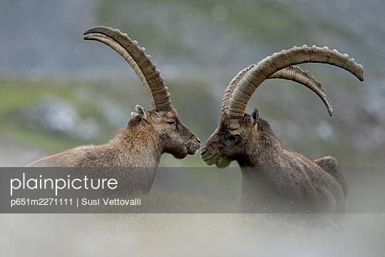 Livigno, Lombardy, Italy. Capra ibex - p651m2271111 by Susi Vettovalli