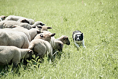 Schäferhund bei der Arbeit - p1439m1496579 von Saskia Uppenkamp