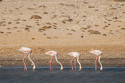 Four flamingos - p1065m885951 by KNSY Bande