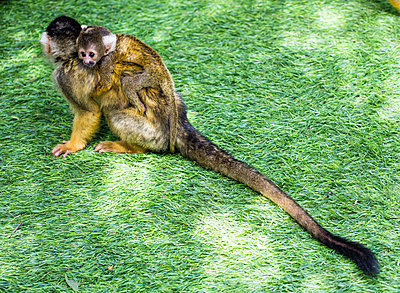 Monkey with young animal - p1082m2065510 by Daniel Allan