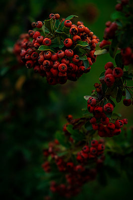 Red Berries - p1655m2258628 by lindsay basson
