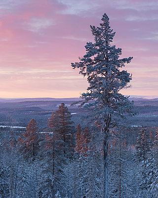 Trees at sunrise during winter in Fulufjallet National Park, Sweden - p352m1536489 by Gustaf Emanuelsson