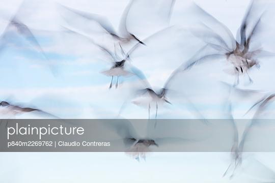 Laughing Gull (Larus atricilla) flock in flight, Sisal, Yucatan Peninsula, Mexico, January - p840m2269762 by Claudio Contreras