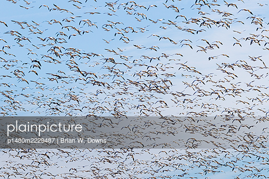 Flock of Snow Geese in front of blue sky and clouds - p1480m2229487 by Brian W. Downs