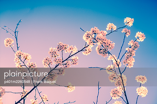Cherry blossom - p401m2260548 by Frank Baquet
