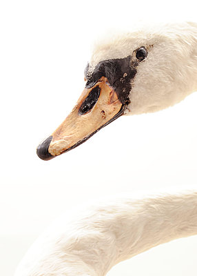 Stuffed swan - p1190m2038569 by Sarah Eick