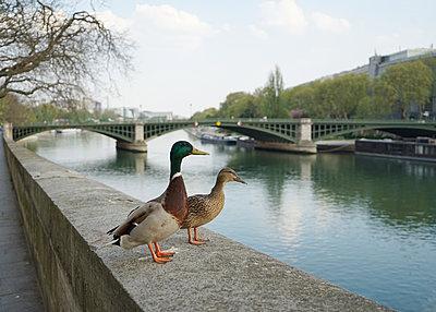 Couple of mallard ducks standing on the river side in Paris - p1610m2181524 by myriam tirler
