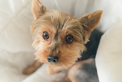 Portrait of yorkshire terrier sitting on dog pillow - p300m1581237 by skabarcat
