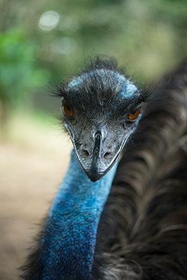 Emu - p427m1109652 von R. Mohr
