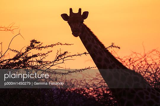 Namibia, Etosha National Park, giraffe at sunset - p300m1450279 by Gemma Ferrando