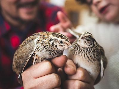 Father and daughter observe pair of quails - p1522m2064945 by Almag