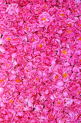 Pink roses - p8850017 by Oliver Brenneisen