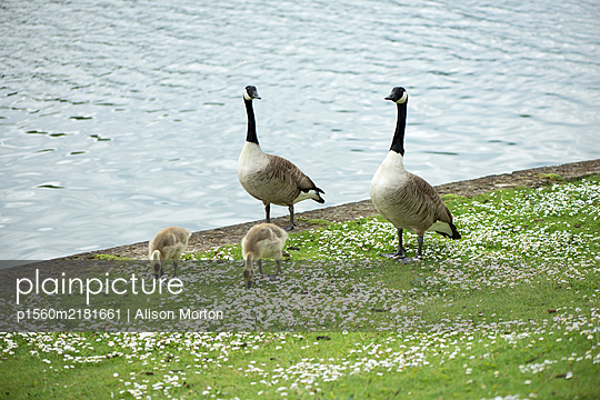 Canada Geese with chicks on the lakefront - p1560m2181661 by Alison Morton