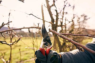 Farmer holding pruning shears while cutting bare tree branch at orchard on sunny day - p300m2277609 by Sebastian Dorn