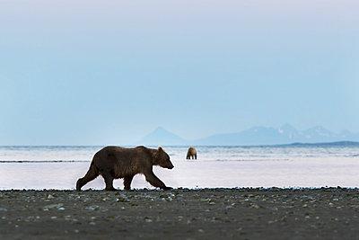 Brown Bears On Beach In Hallo Bay, Katmai National Park, Alaska Peninsula, Southwest Alaska, Summer. - p442m861309 by Scott Dickerson