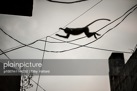 Monkey jumping through electric wires - p1007m1144292 by Tilby Vattard
