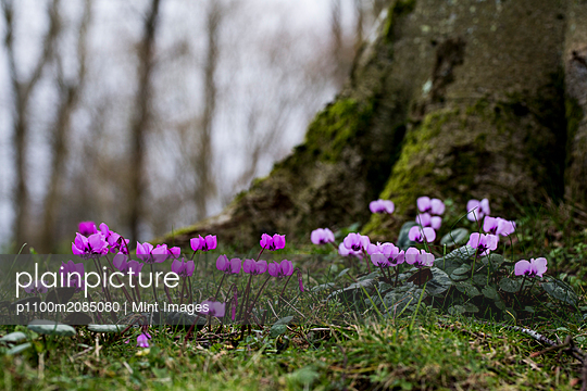 A garden in winter, small flowering cyclamen under a tree.  - p1100m2085080 by Mint Images