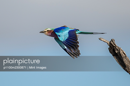 Bird, lilac breasted roller, Coracias caudatus, takes off in flight - p1100m2300871 by Mint Images