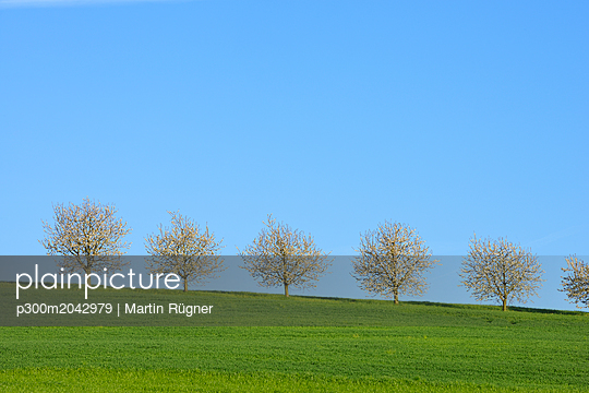 Switzerland, row of blossoming cherry trees on a meadow against blue sky - p300m2042979 by Martin Rügner