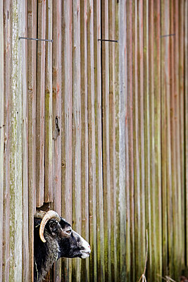 Close-up side view of a goat looking through the barn window wall wooden - p1025m788638f by Nicklas Blom