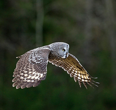 Side shot of a Great Grey Owl in flight against blurred background - p1025m789264f by Torbjörn Arvidson