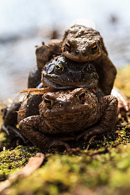 Three Toads - p417m1286580 by Pat Meise