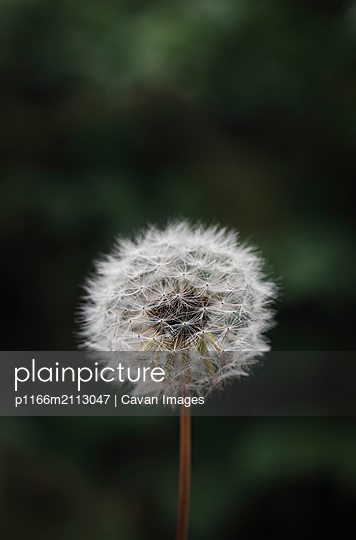 Close up of white fluffy dandelion against a green blurred background. - p1166m2113047 by Cavan Images