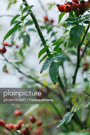 plainpicture - plainpicture p312m1570637 - Dew on rose bush - plainpicture/Johner/Therese Winberg