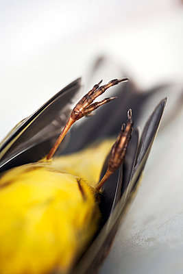 Close-up of dead bird claws - p312m996536f by Lina Karna Kippel