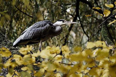 Heron - p417m1074252 by Pat Meise