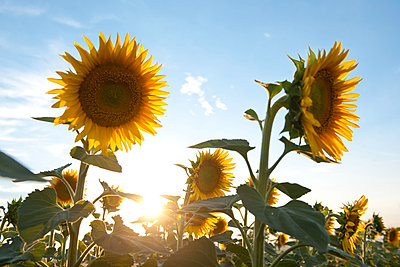 Sonnenstrahlen zwischen den Sonnenblumen - p533m1496773 von Böhm Monika