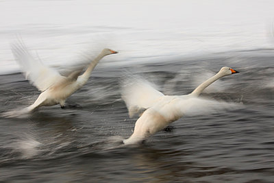 Whooper Swan, Cygnus cygnus, flying over frozen bay in winter. - p1100m1520154 by Mint Images