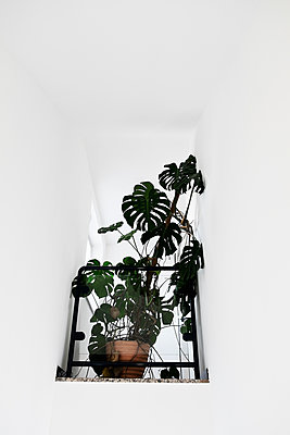 Houseplant monstera deliciosa - p1149m1194414 by Yvonne Röder