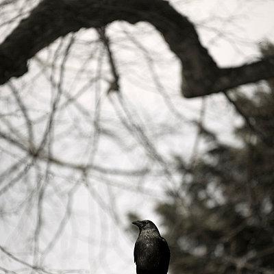 Rabenvogel - p6470049 von Tine Butter