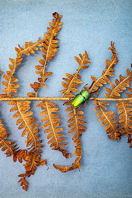 Scarab on wilted fern - p971m2272650 by Reilika Landen