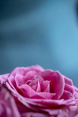 Rose - p427m2098823 von Ralf Mohr