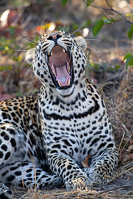 Leopard in the bush, Okavango Delta, Botswana, Africa - p651m2271087 by Paul Joynson Hicks photography