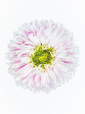 Dahlia blossom - p401m2217516 by Frank Baquet