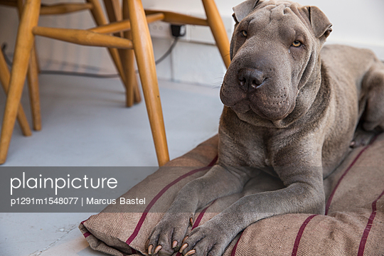 Sharpei - p1291m1548077 by Marcus Bastel