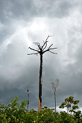 Brazil, Para, Amazon rainforest, slash and burn, dead brazil nut tree - p300m1129767f von Florian Kopp